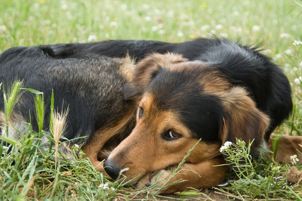 Pacing in circles is a biologically driven behavior in dogs.
