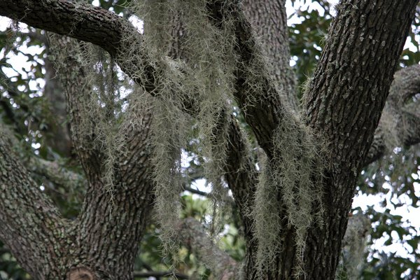 A close-up of spanish moss and tree bark on trunks.