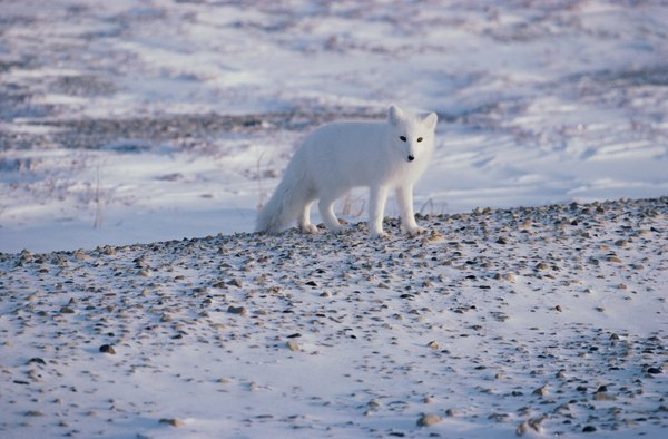 the arctic fox is an arctic tundra carnivore