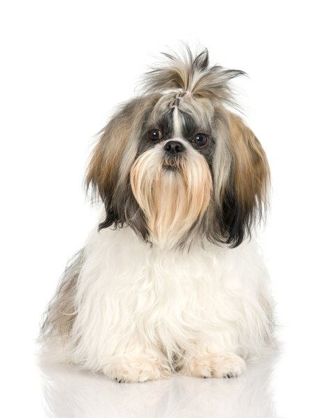 At What Age Do Shih Tzus Stop Growing Dog Care Daily Puppy