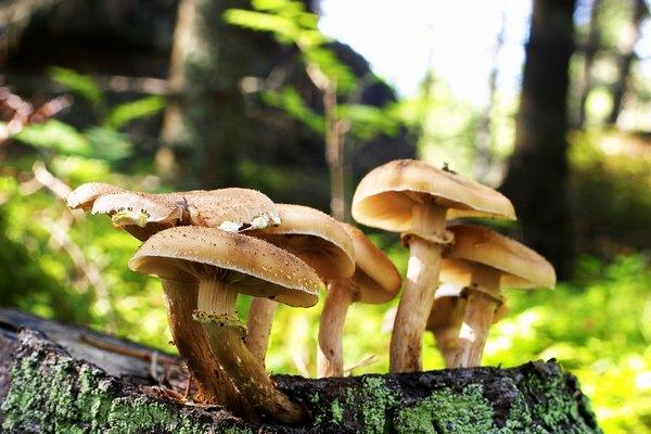 Wild brown mushrooms growing