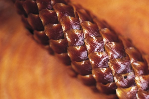Ovules are found beneath the scales of a pine tree's female cones.