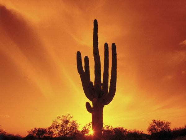 Cacti thrive in deserts because they have adaptive features that make life in desert conditions tolerable.