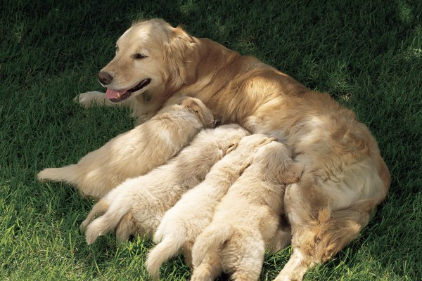 Mother dogs are often reluctant to take their eyes off their newborns.