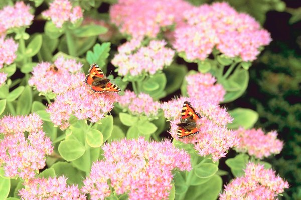 Succulent stemmed plants home guides sf gate flowered sedum attracts winged wildlife mightylinksfo