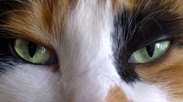 Dog Blindness Green Eyes