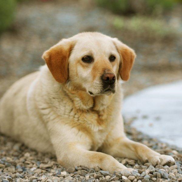 If you've got a soft spot for yellow dogs, choose the Labrador retriever.