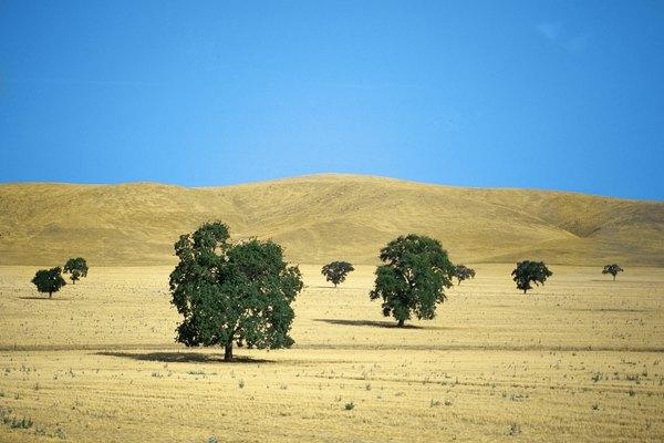 Oak trees in Merced County grassland, CA.