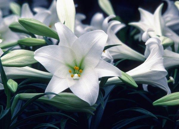 "La ""Cuna de Moisés"" se caracteriza por sus elegantes flores."