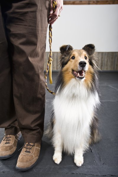 Collies combine beauty, intelligence and sensitivity in one canine package.