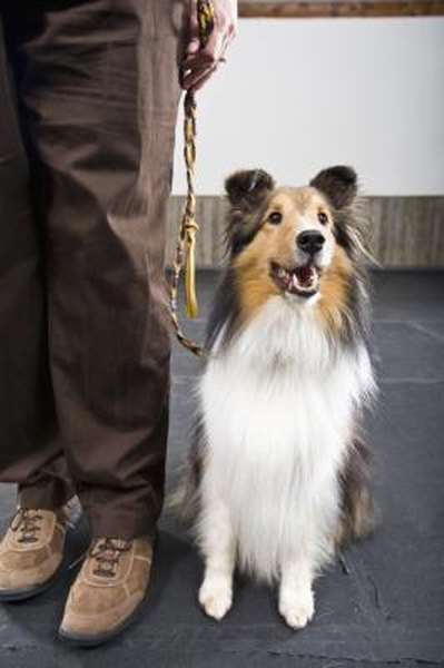 How To Cut The Toe Fur On A Sheltie Pets
