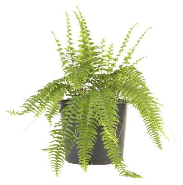 What Causes The Fronds On A Boston Fern To Turn Yellow Or Brown