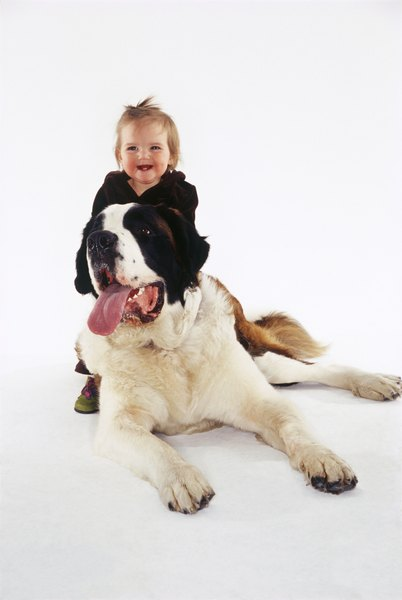Large, deep-chested dogs, like the Saint Bernards, are at risk for developing gastric torsion.