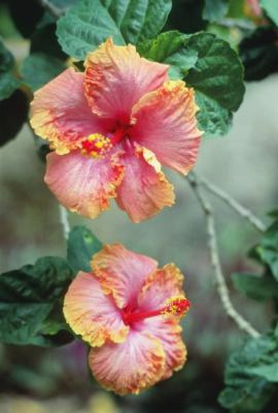 What Type Of Pots To Put Hibiscus Plants In Home Guides Sf Gate