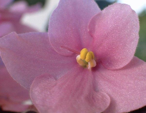 """Las flores de la """"Violeta Americana"""" son extremadamente delicadas."""