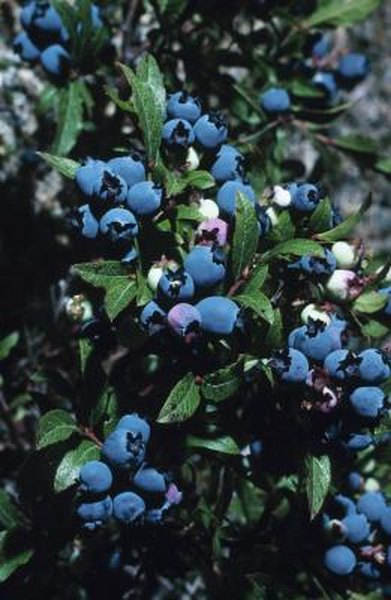 Blueberry Plants and Drip Line Irrigation | Home Guides | SF Gate