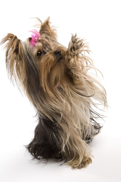 Are Yorkies Intelligent Dogs Pets
