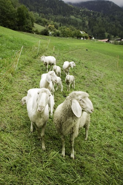 Both the akbash and the kuvasz are livestock guarding breeds.