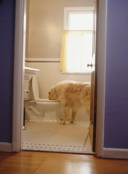 Drinking from the toilet can dilute a dog's urine.
