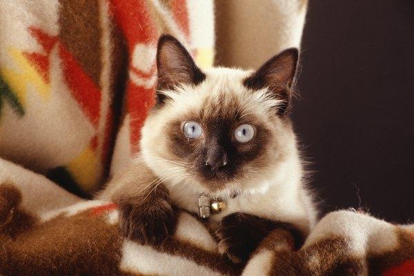 Características y tips de los gatos siameses.