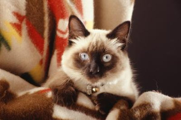 Differences Between Javanese Amp Balinese Cats Pets