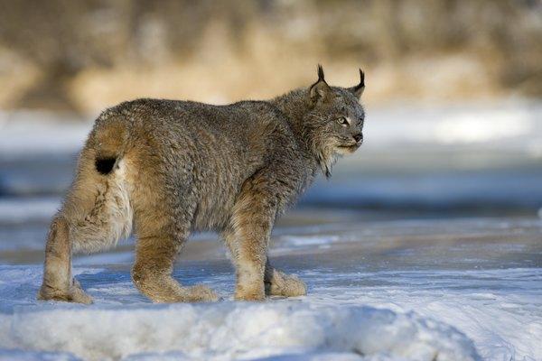 A Canadian lynx walks across the ice and snow.