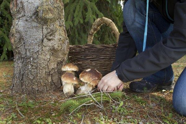 Wild mushrooms being picked near tree