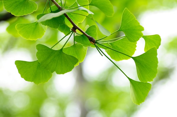 A close-up of ginkgo leaves on a branch.