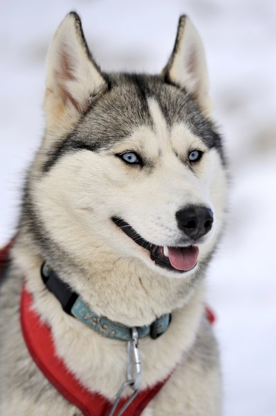 Strengths Weaknesses Of The Siberian Husky Dog Care Daily Puppy