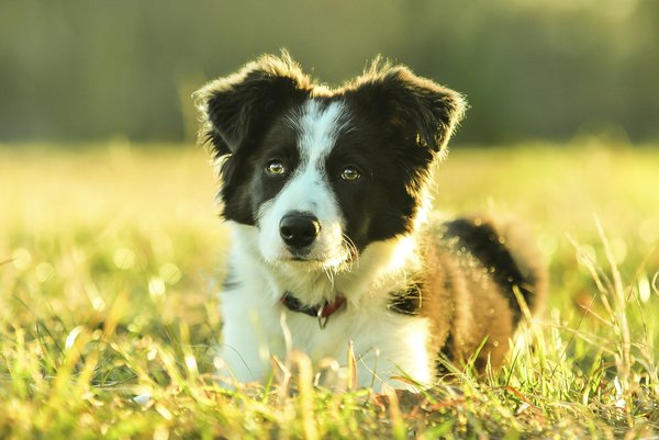 The eyes have it -- that intense border collie stare.