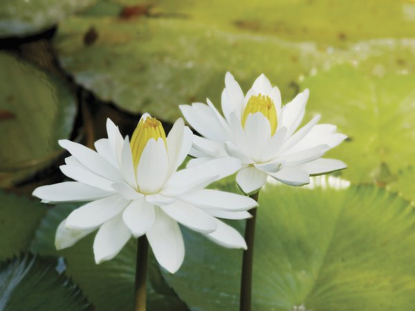 A close-up of two white water lillies.