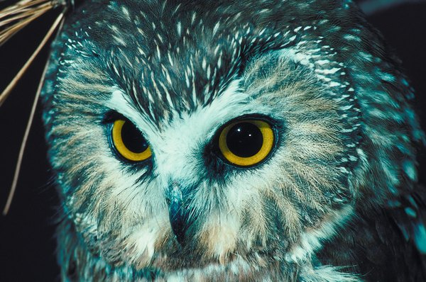 Mice are the main food source of the northern saw-whet owl.