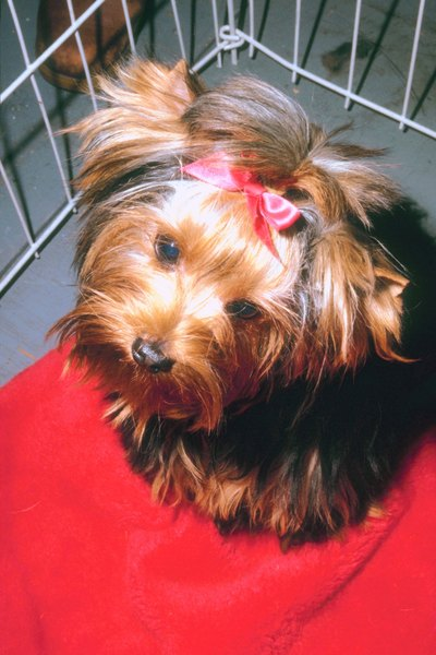 How To Get A Yorkie To Stop Crying In Her Cage At Night Pets