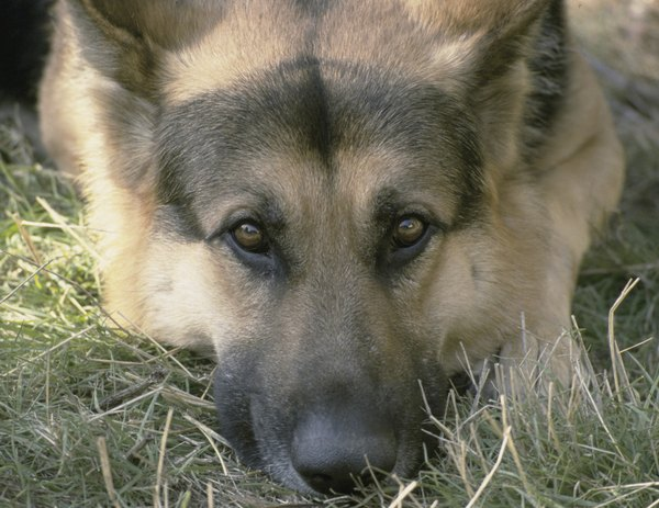 Elderly German shepherds are prone to degenerative myelopathy.