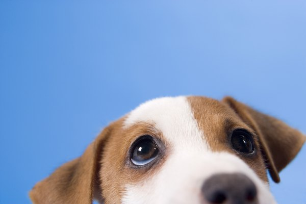 Kennel cough is especially prevalent in canine youngsters.