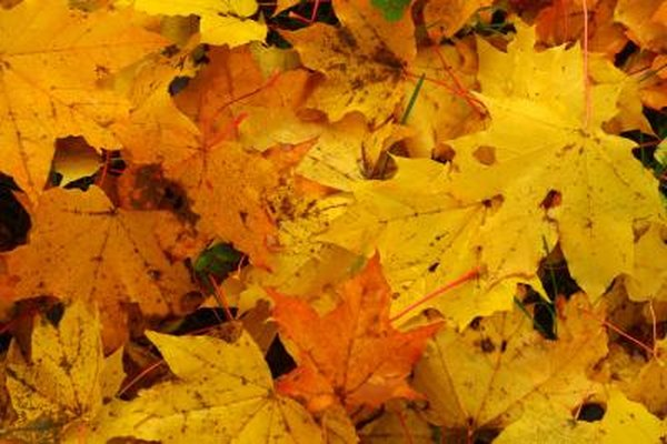 Do Silver Maple Trees Turn Colors In The Fall Home Guides Sf Gate