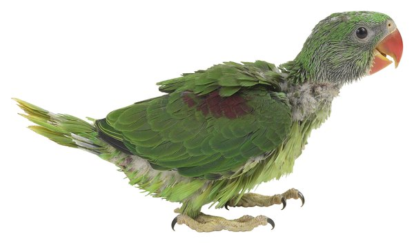 do a parrot s feathers grow back after being pulled out pets