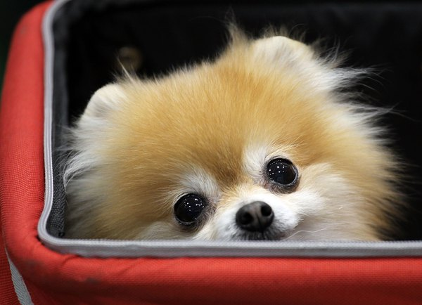 Pomeranians are notorious little shedders.