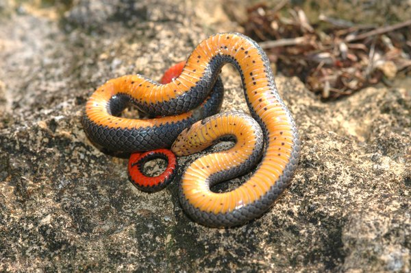 Ringneck snake feeling threatened