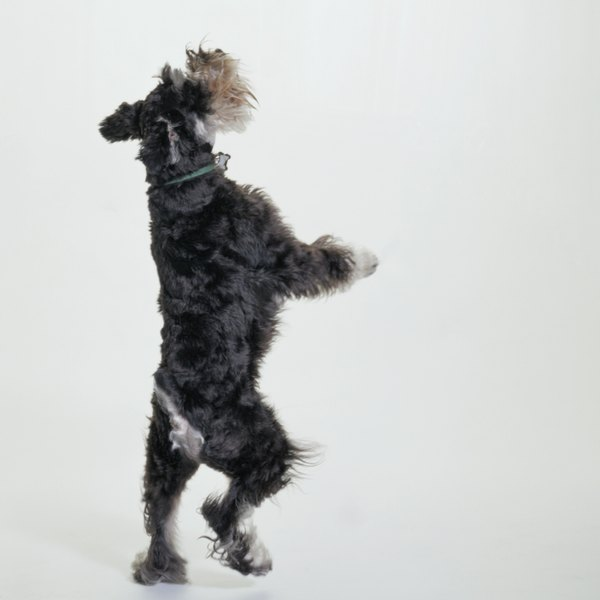 The schnauzer is a smart dog and a good candidate for agility training.