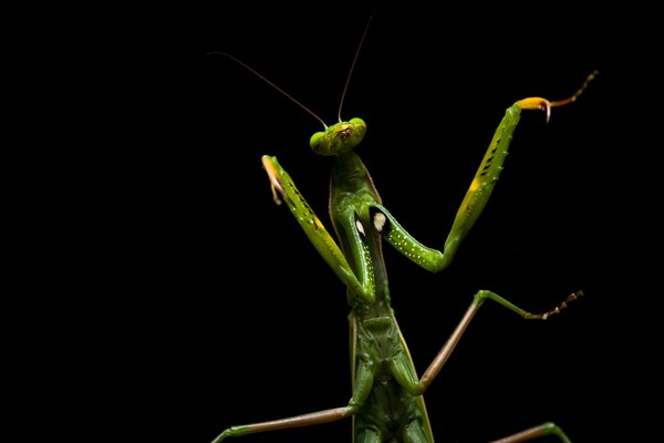Praying Mantis standing.