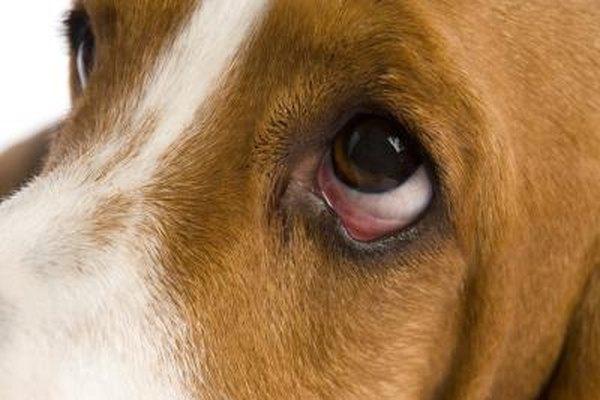 White Bubbly Spot On Dogs Eye