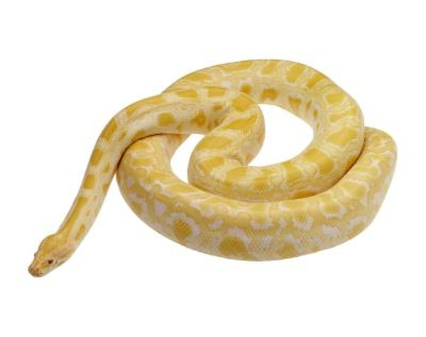 Information On Albino Granite Burmese Pythons Animals Mom Com
