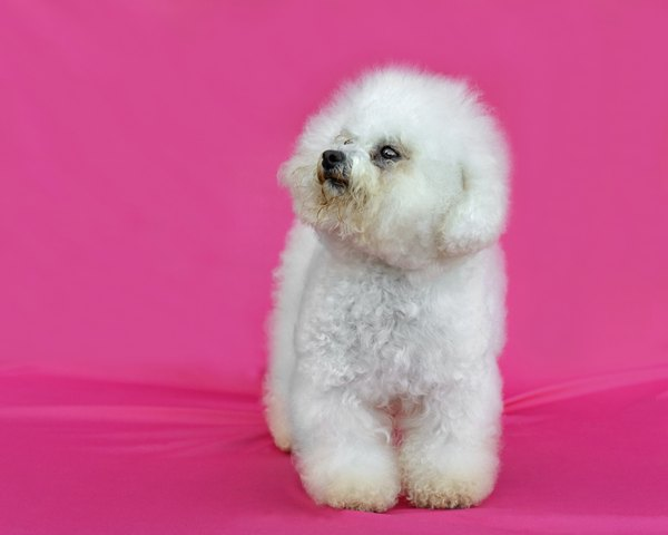 Bich-poo, poochon or a very cute pup -- that's what you get when you cross a poodle with a bichon frise.