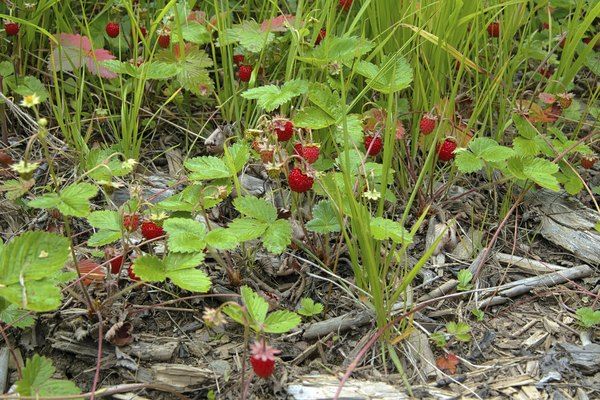 Wild strawberries growing low to the ground in the taiga region