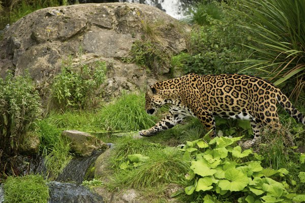 Jaguars prey on the Amazon's reptiles and birds.