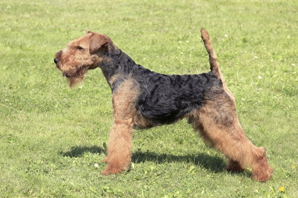 Make sure your Welsh terrier has regular veterinary eye exams.