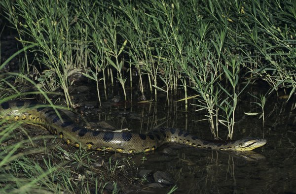 Anacondas are the largest snake species in the world.