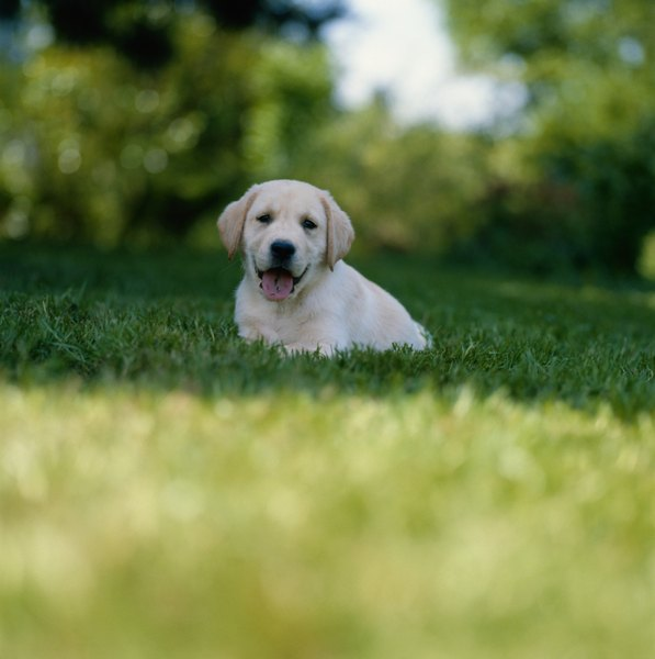 Dog urine contains chemicals that burn grass.