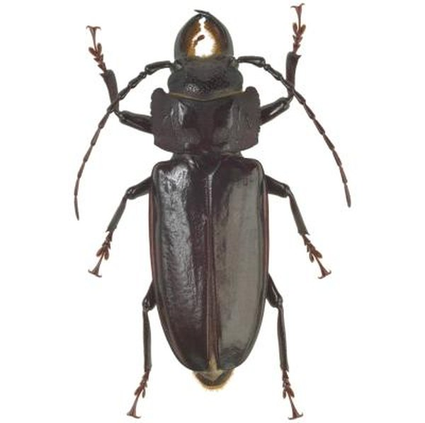 The Broad-Necked Root Borer | Home Guides | SF Gate